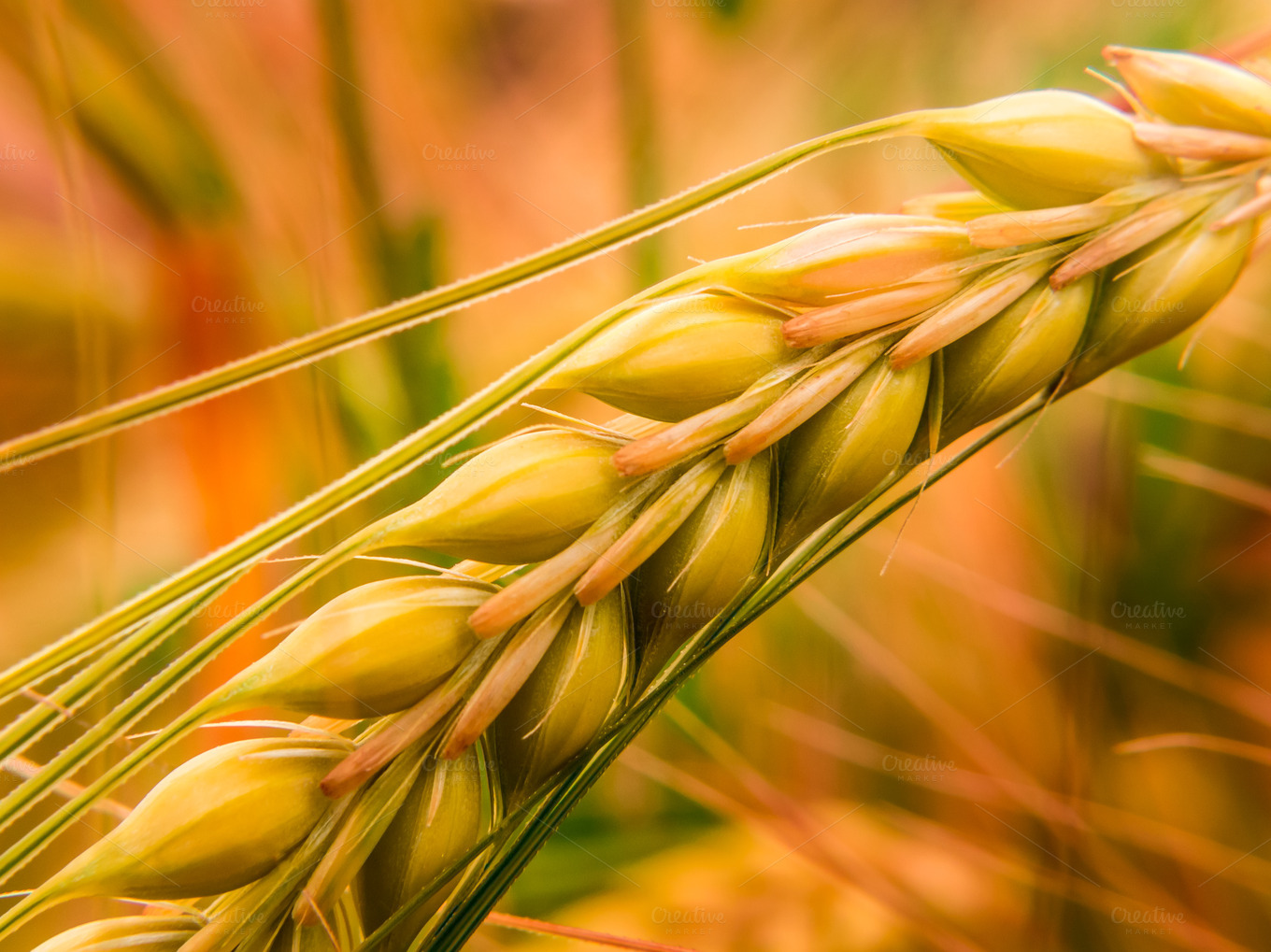 Detail-of-golden-wheat