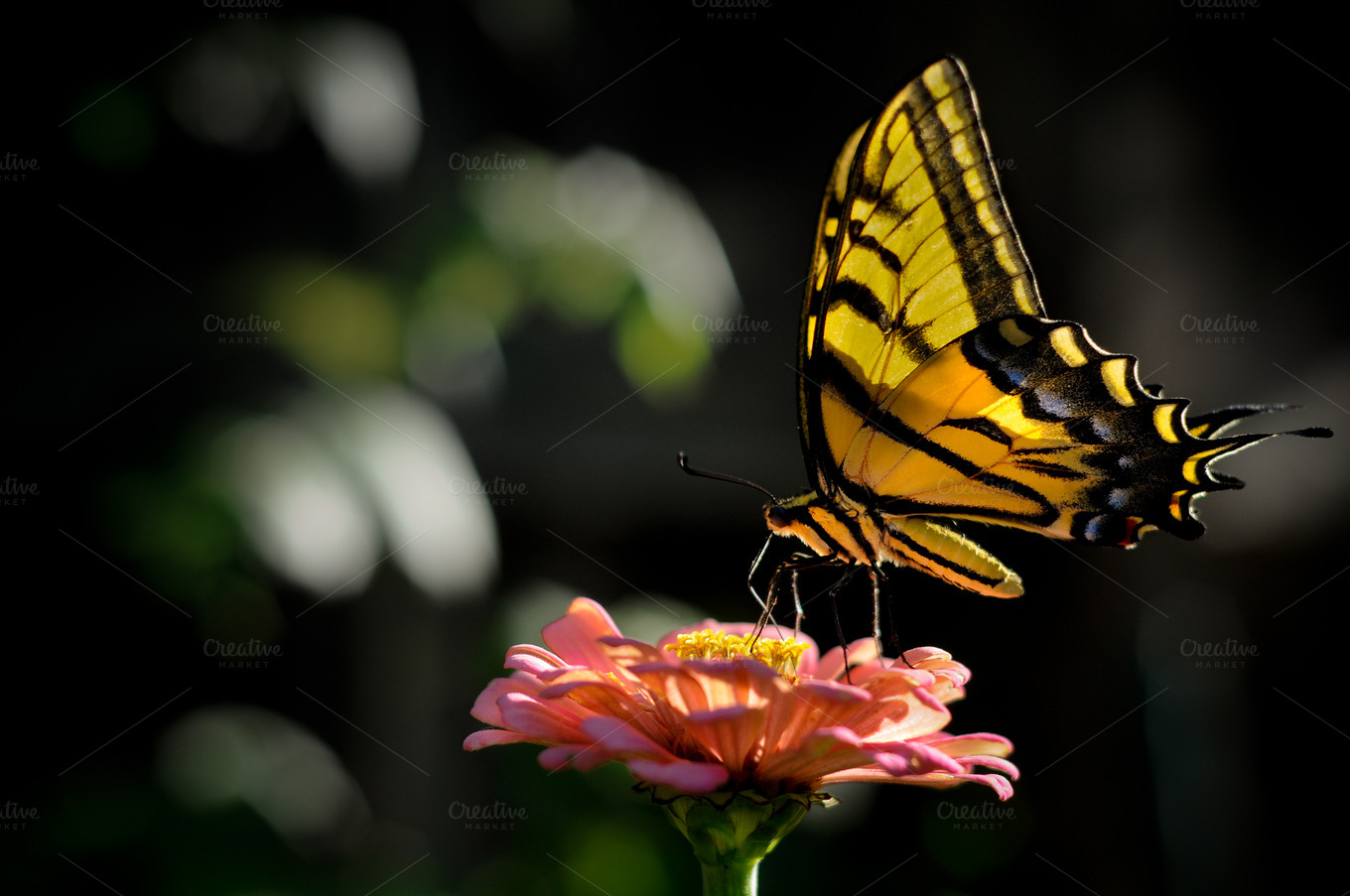 Yellow-Butterfly-on-Zinia-Flower