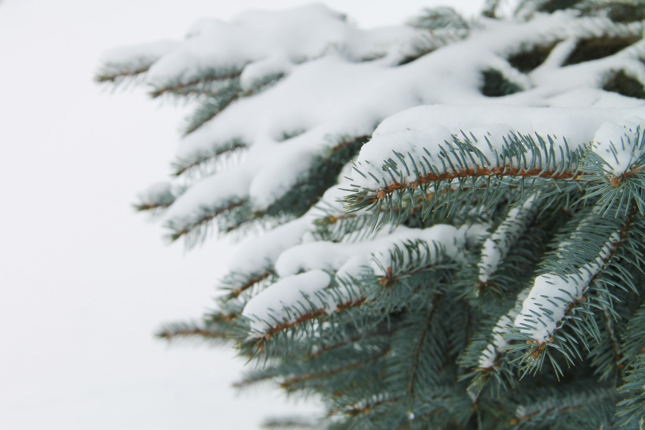 snow-pine-tree-branches