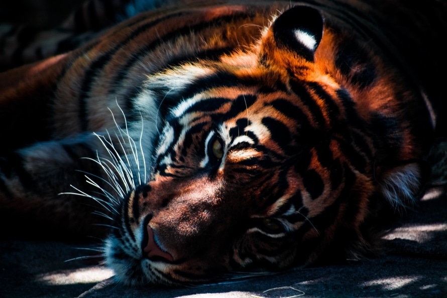 tiger-big-cat-animal-wild-animal