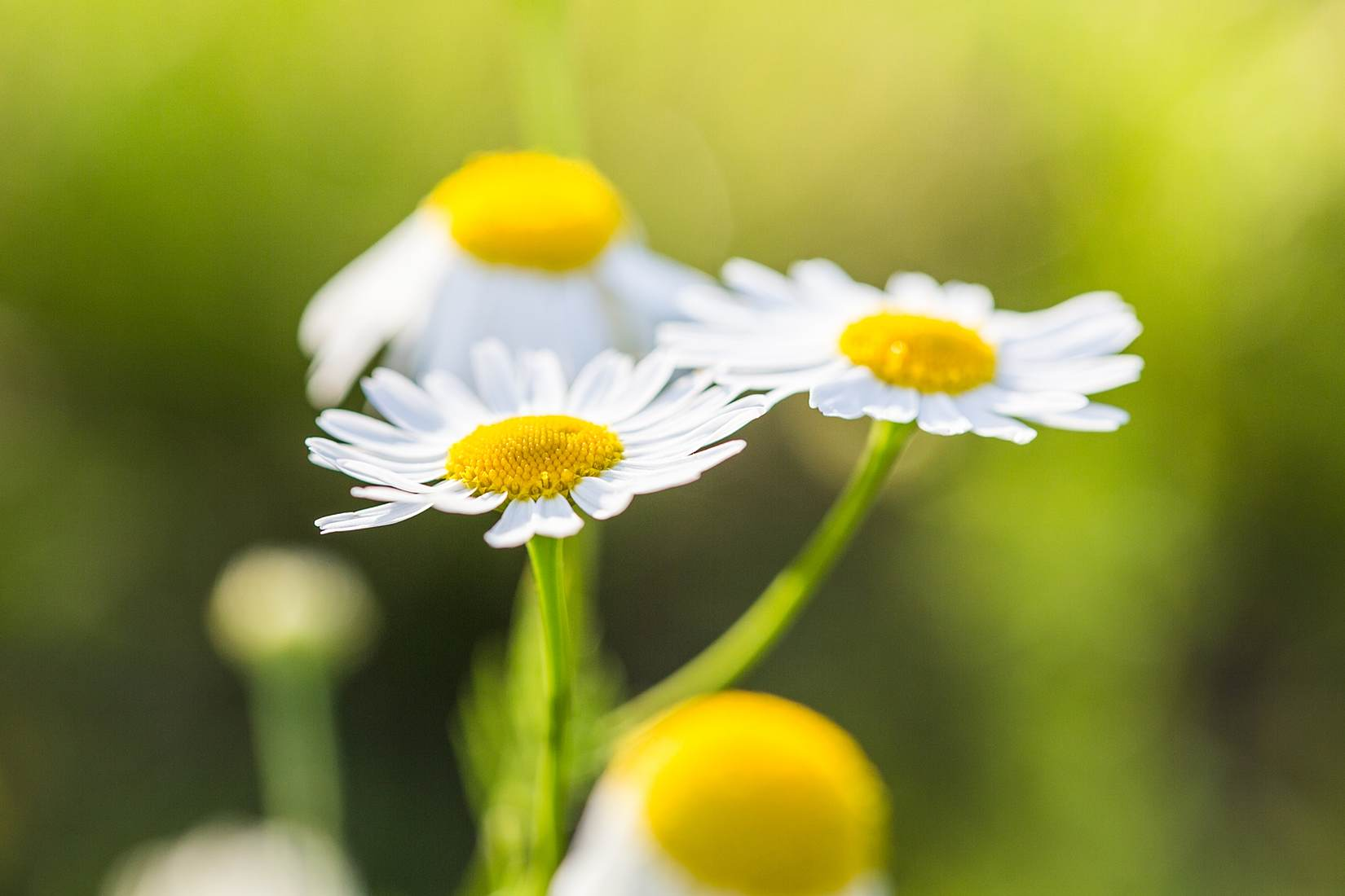 wonderful-daisies-with-bright-background