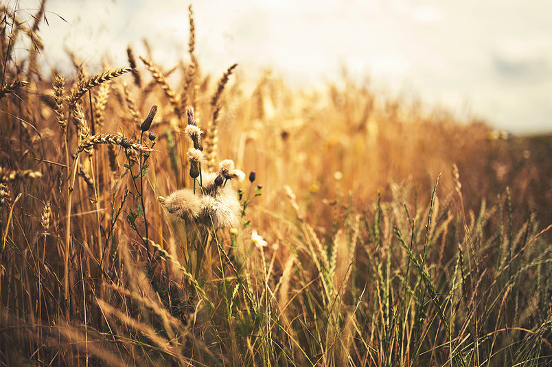 free-photo-golden-wheat-field-2