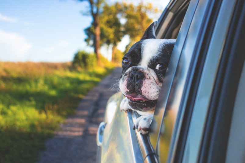dog-looking-from-the-car-window-2
